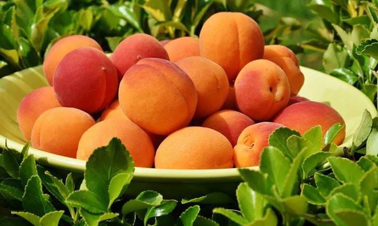 Growing & Care of Apricots Trees
