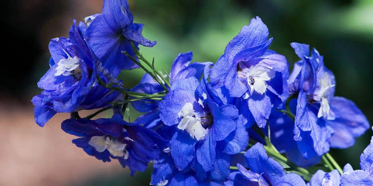 Growing Delphiniums - Larkspur