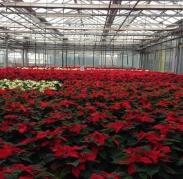 Growing Poinsettias in the Greenhouse