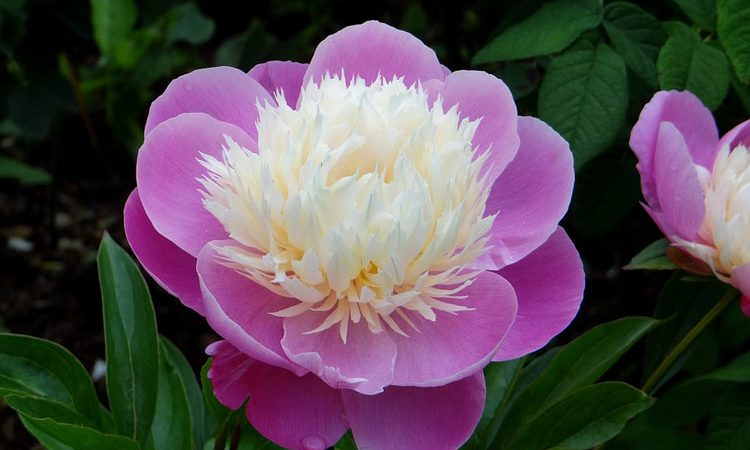 Growing tips for Paeonia