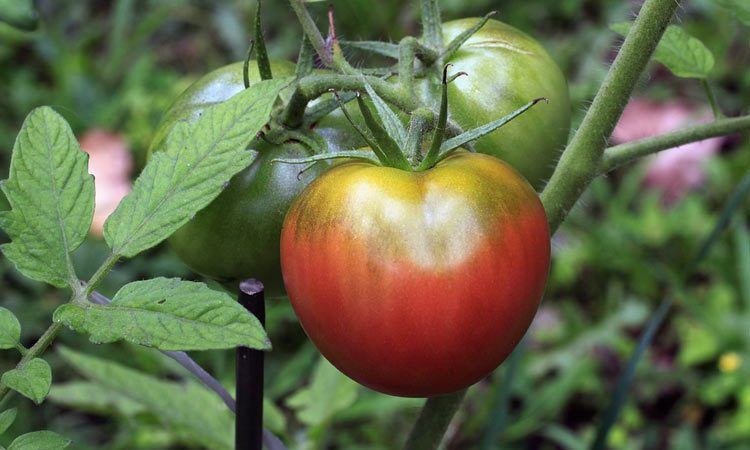 Heirloom Vegetables and Tomatoes
