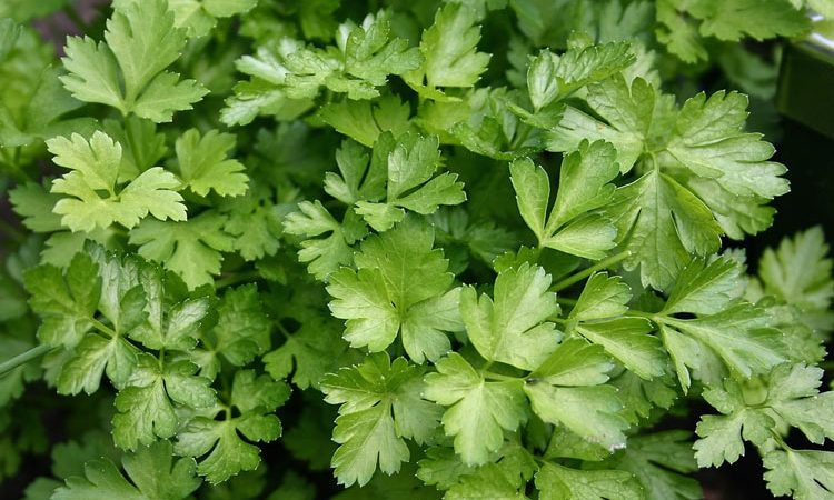 How to grow parsley plant from parsley seed