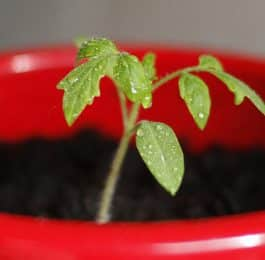 How to grow tomato plant from seed