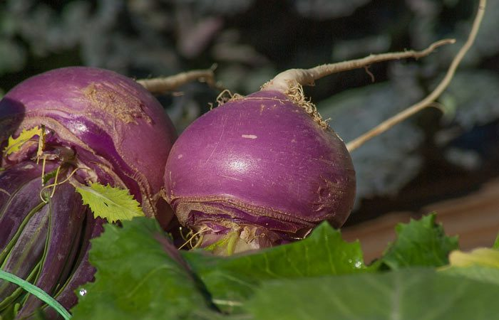 How to grow Turnip plant from seed