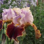 Iris Flowers in June