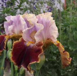 Iris Flowers in June