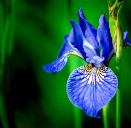Iris - Perennial Plant, How to grow