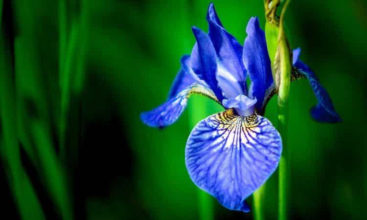 Iris - Perennial Plant, How to grow