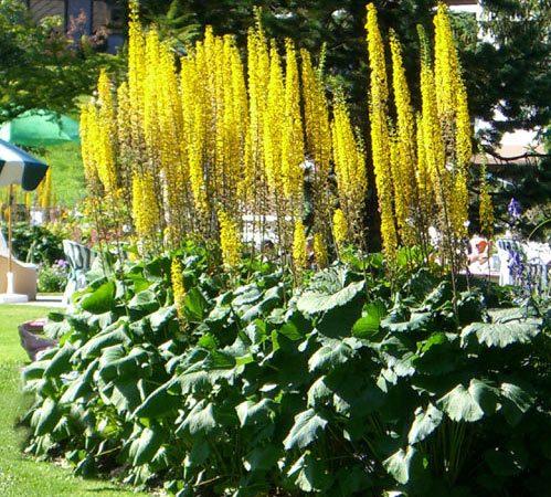 Ligularia - Perennial Plant, How to grow