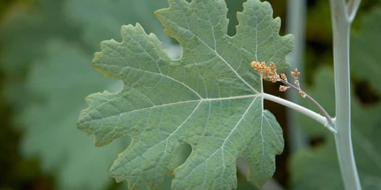 Macleaya - Perennial Plant, How to grow