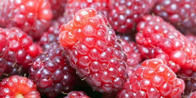 Plant care for Loganberry