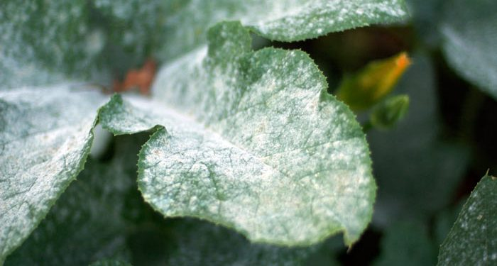 Powder mildew on plants