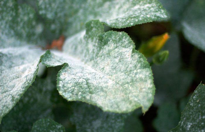 Powder mildew on plants