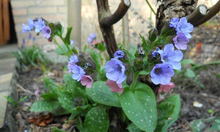 Pulmonaria - Perennial Plant, How to grow