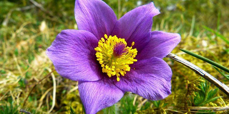 Pulsatilla - Perennial Plant, How to grow