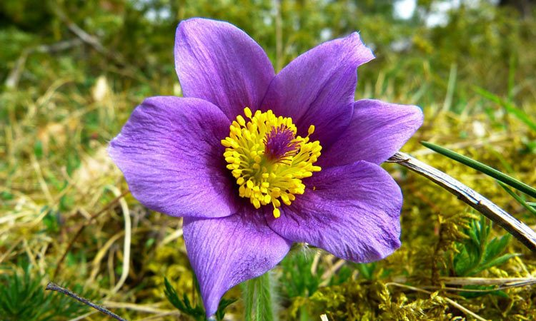 Pulsatilla - Perennial Plant, How to grow