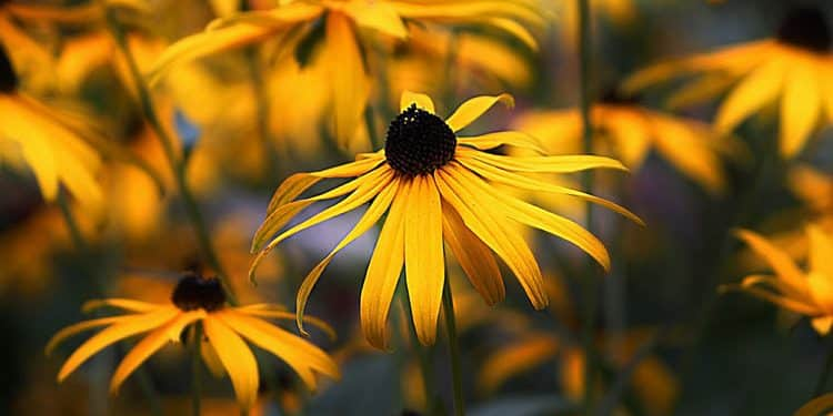 Rudbeckia blooms its golden glow early