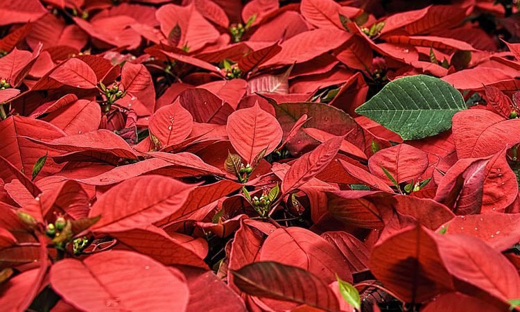 Your Christmas Poinsettia Can Bloom Again