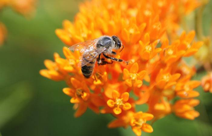 Asclepias - Butterfly Weed, Pleurisy Root, Milkweed, Perennials Guide to Planting Flowers
