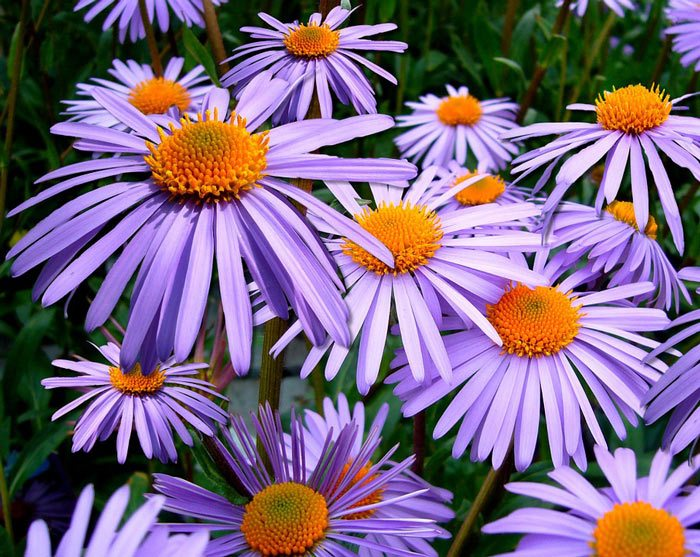 Aster - Michaelmas Daisy, Perennials Guide to Planting Flowers
