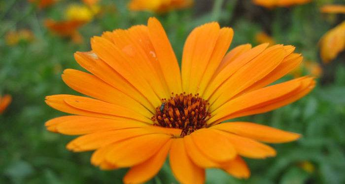 DIMORPHOTHECA   Cape-marigold (African-orange daisy), Annual Flower Information