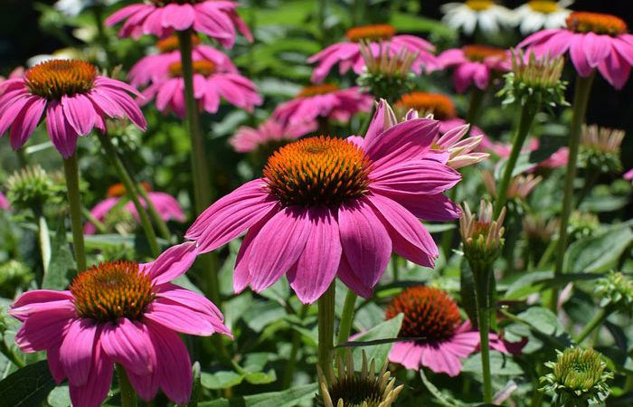 Echinacea - Purple Cone Flower, Perennials Guide to Planting Flowers