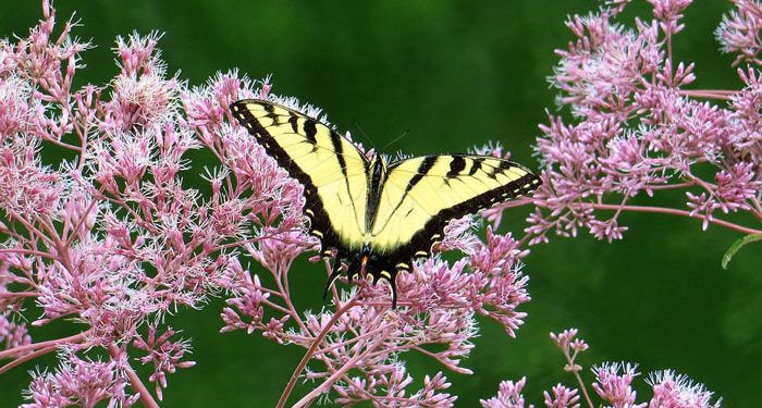 Eupatorium - White Snakeroot, Thoroughwort, Hemp Agrimony, Joe-Pye Weed, Perennials Guide to Planting Flowers