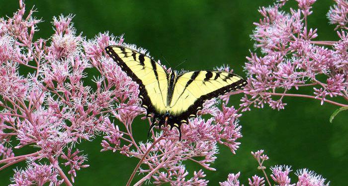 Eupatorium - White Snakeroot, Thoroughwort, Hemp Agrimony, Joe-Pye Weed, Perennials Guide to Planting Flowers