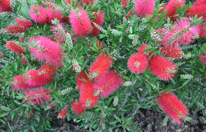 Growing and Care Bottle Brush Tree. Callistemon
