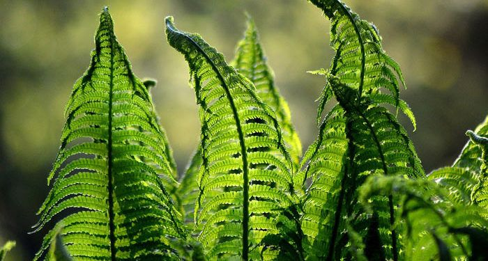 Hardy Ferns, Perennials Guide to Planting Flowers