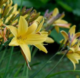 Hemerocallis - DayLily,  Perennials Guide to Planting Flowers