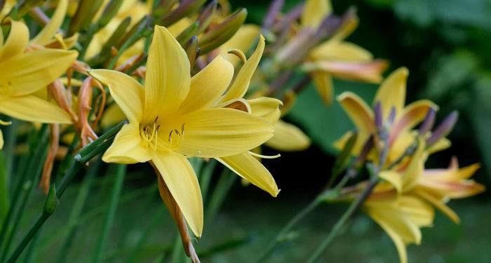 Hemerocallis - DayLily,  Perennials Guide to Planting Flowers