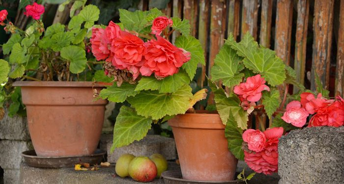 How to grow Begonias from seed - tuberous