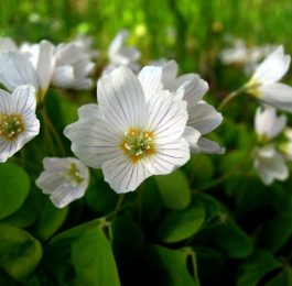 How to grow Oxalis