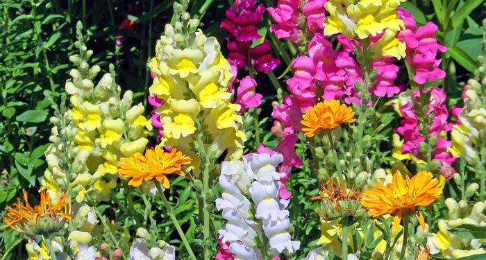 How to grow Snapdragon flowers, Annual Flower Information - Antirrhinum