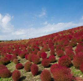KOCHIA   - Summer cypress, Annual Flower Information