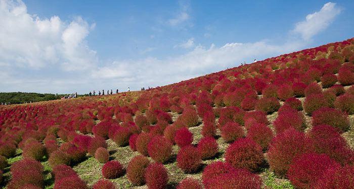 KOCHIA   - Summer cypress, Annual Flower Information