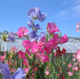 LATHYRUS   Sweet Peas, Annual Flower Information