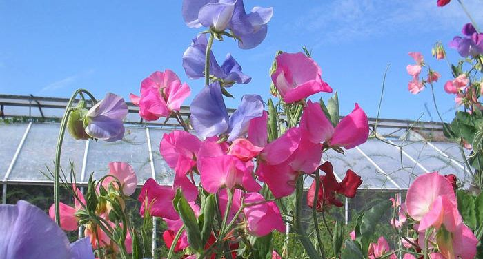 LATHYRUS   Sweet Peas, Annual Flower Information