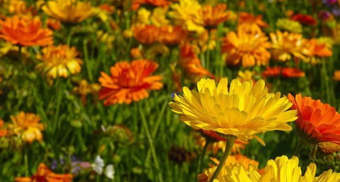 Marigold, Annual Flower Information