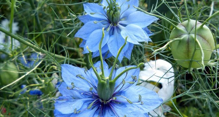 NIGELLA -  Love in a mist, Annual Flower Information