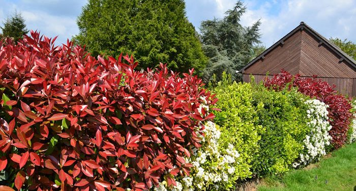Plant a garden hedge