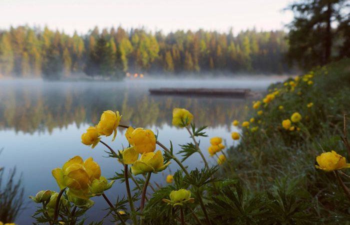 Potentilla - Cinquefoil, Five Finger, Perennials Guide to Planting Flowers
