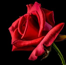 Roses have deep history and many styles to choose from