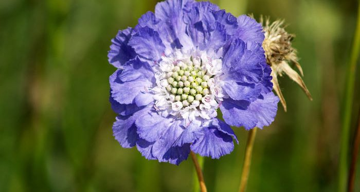 Scabiosa - Pincushion Flower, Perennials Guide to Planting Flowers