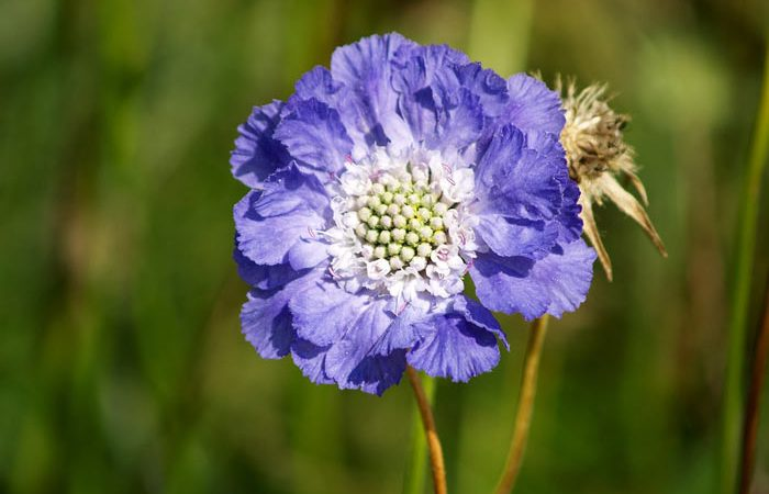 Scabiosa - Pincushion Flower, Perennials Guide to Planting Flowers