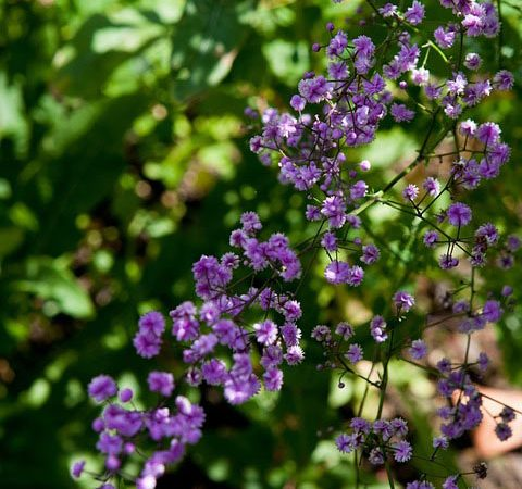 Thalictrum - Perennial Plant, How to grow