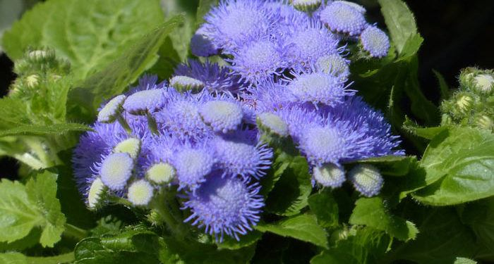 AGERATUM Mexican Ageratum (Floss flower), Annual Flower