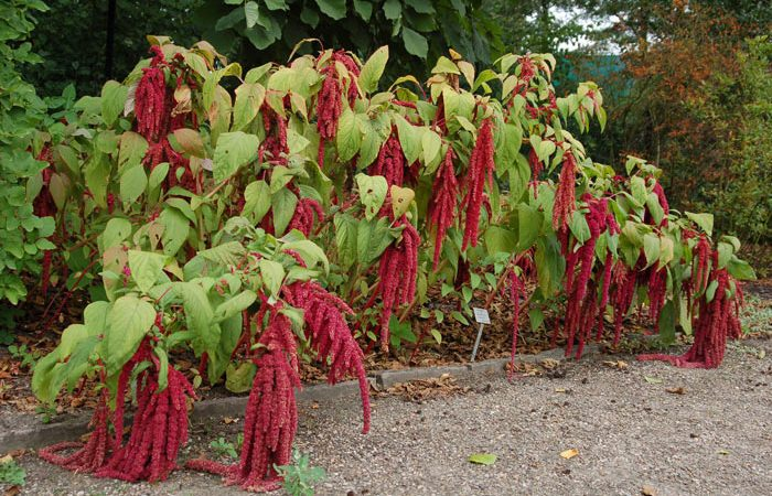 AMARANTHUS Amaranth, Annual Flower