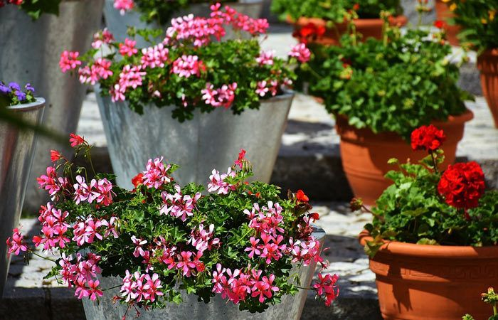 Annuals and Biennials for the Cool Greenhouse - Greenhouse flowers